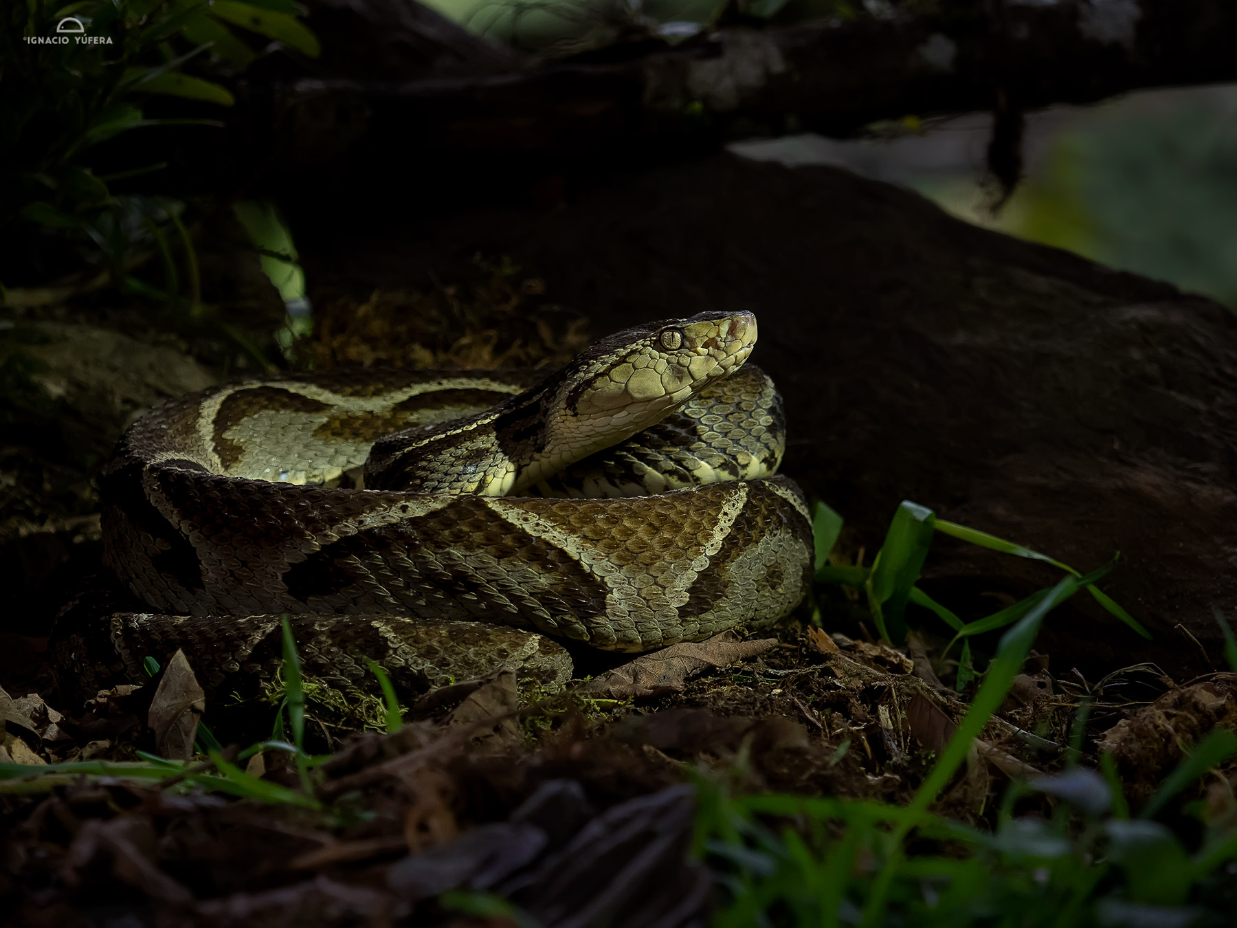 Fer-de-Lance (Bothrops asper), adult, Costa Rica