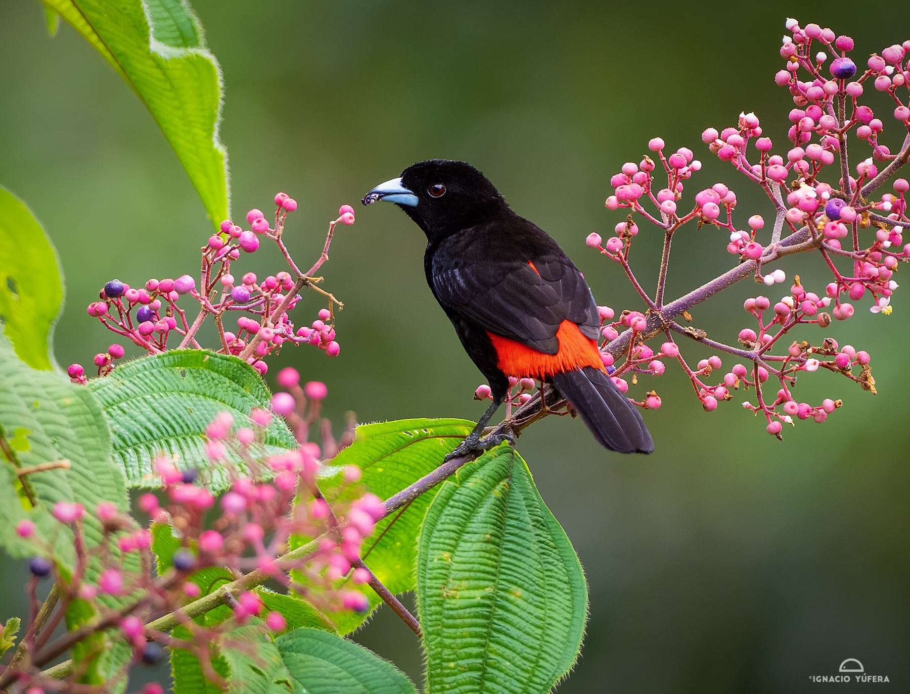Scarlet-rumped Tanager (Ramphocelus passerinii), male feeding on berries, Costa Rica