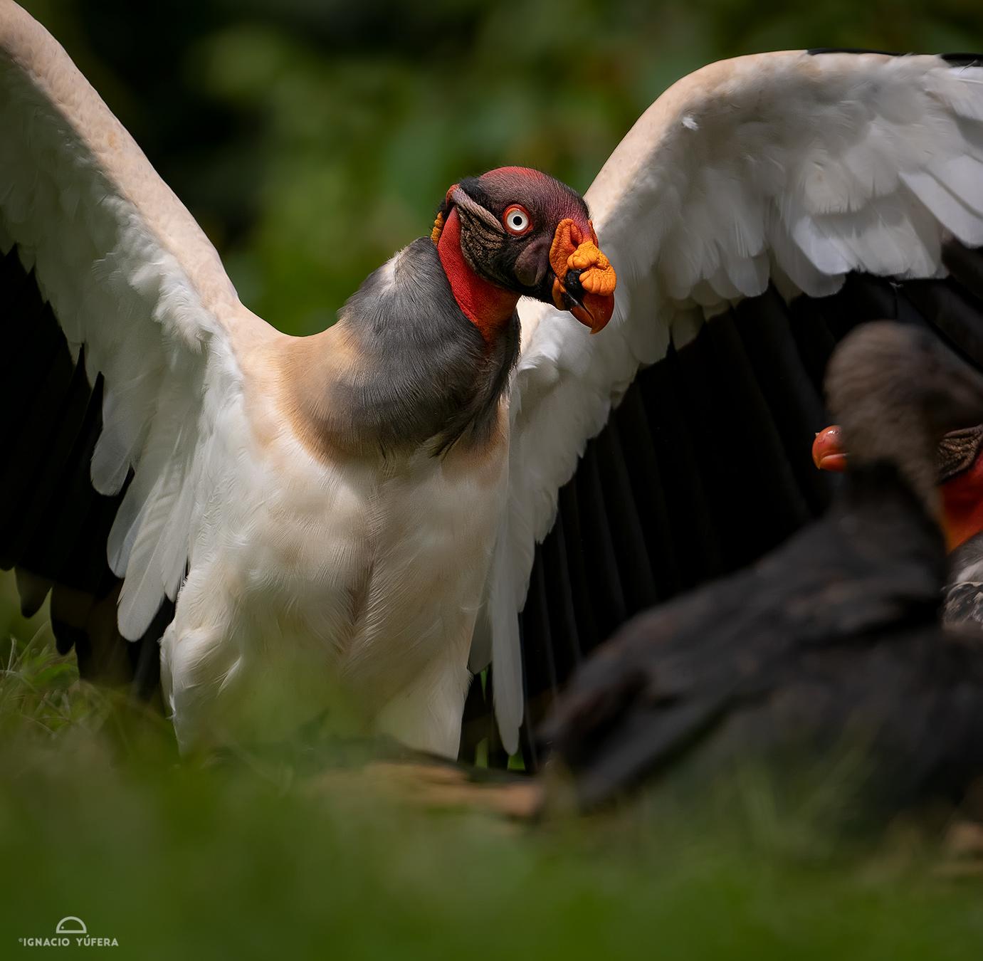 King Vulture (Sarcoramphus papa), Costa Rica