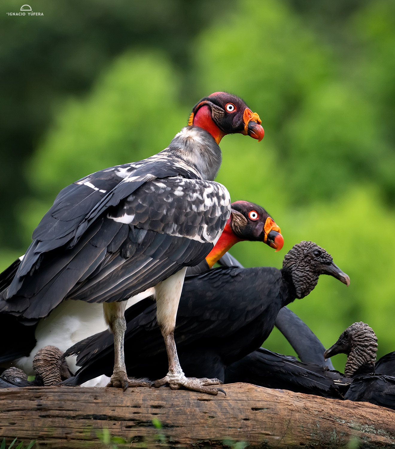 King Vulture (Sarcoramphus papa), two immature birds with Black Vultures,Costa Rica