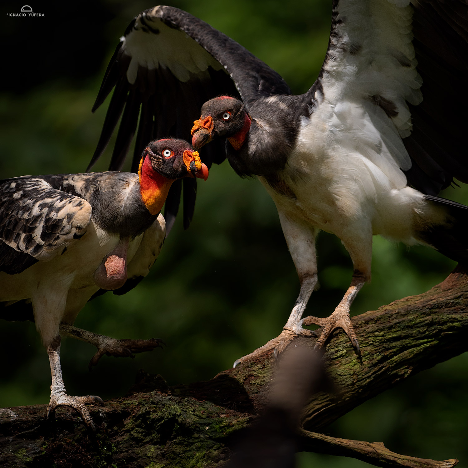 King Vultures (Sarcoramphus papa), immature birds, Costa Rica