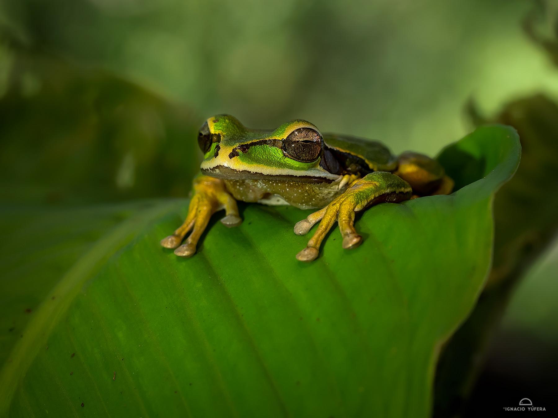 Cross-banded Treefrog (Smilisca phaeota), Costa Rica