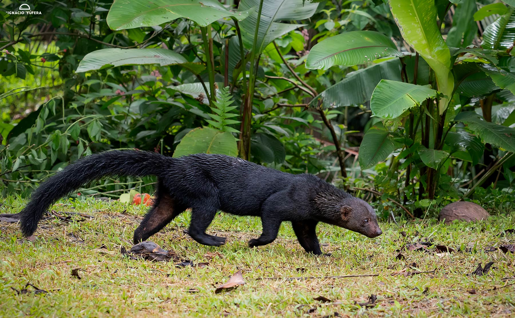 Tayra (Eira barbara), female, Pital, Costa Rica