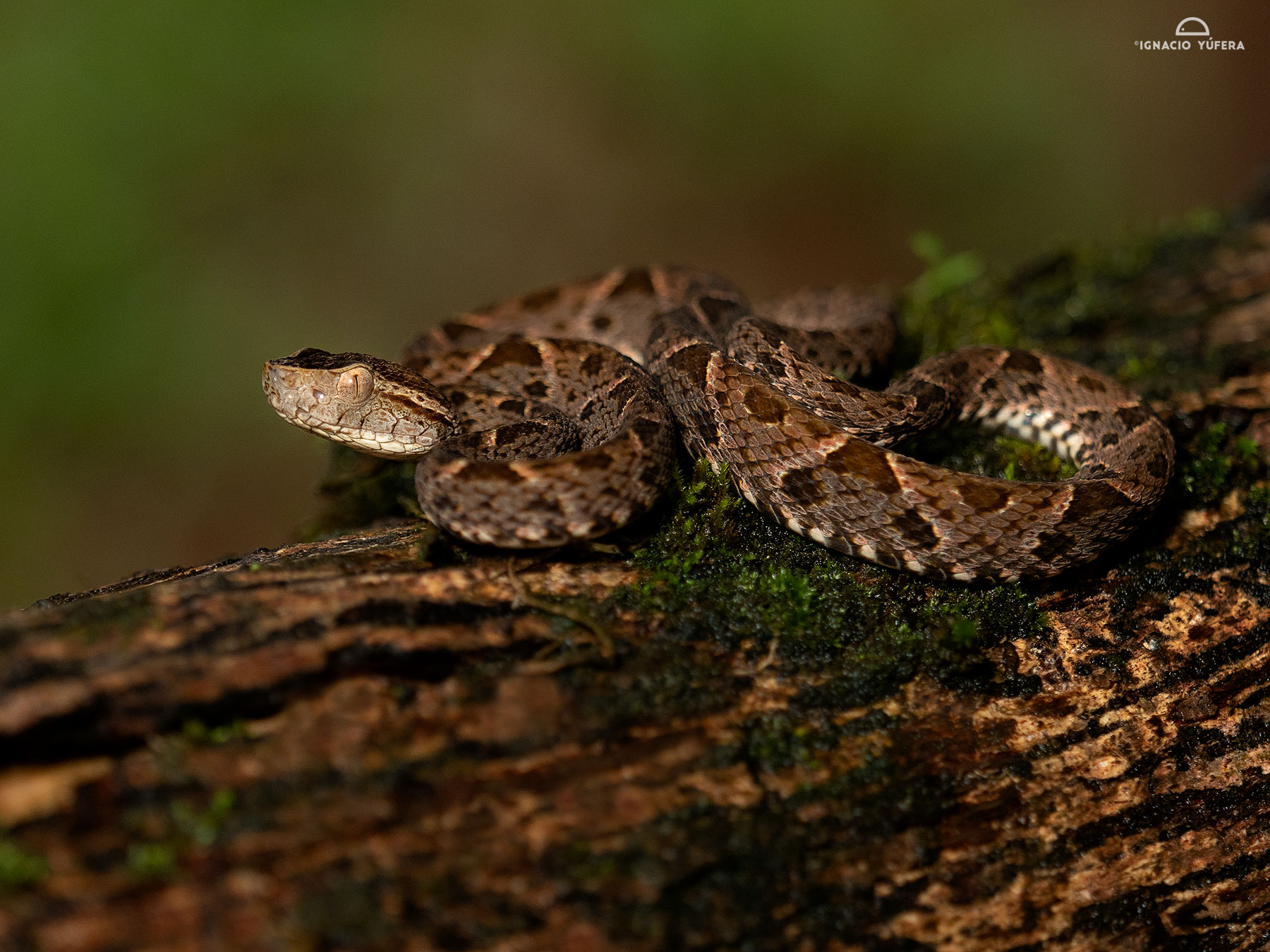 Fer-de-Lance (Bothrops asper), young, Pital, Costa Rica