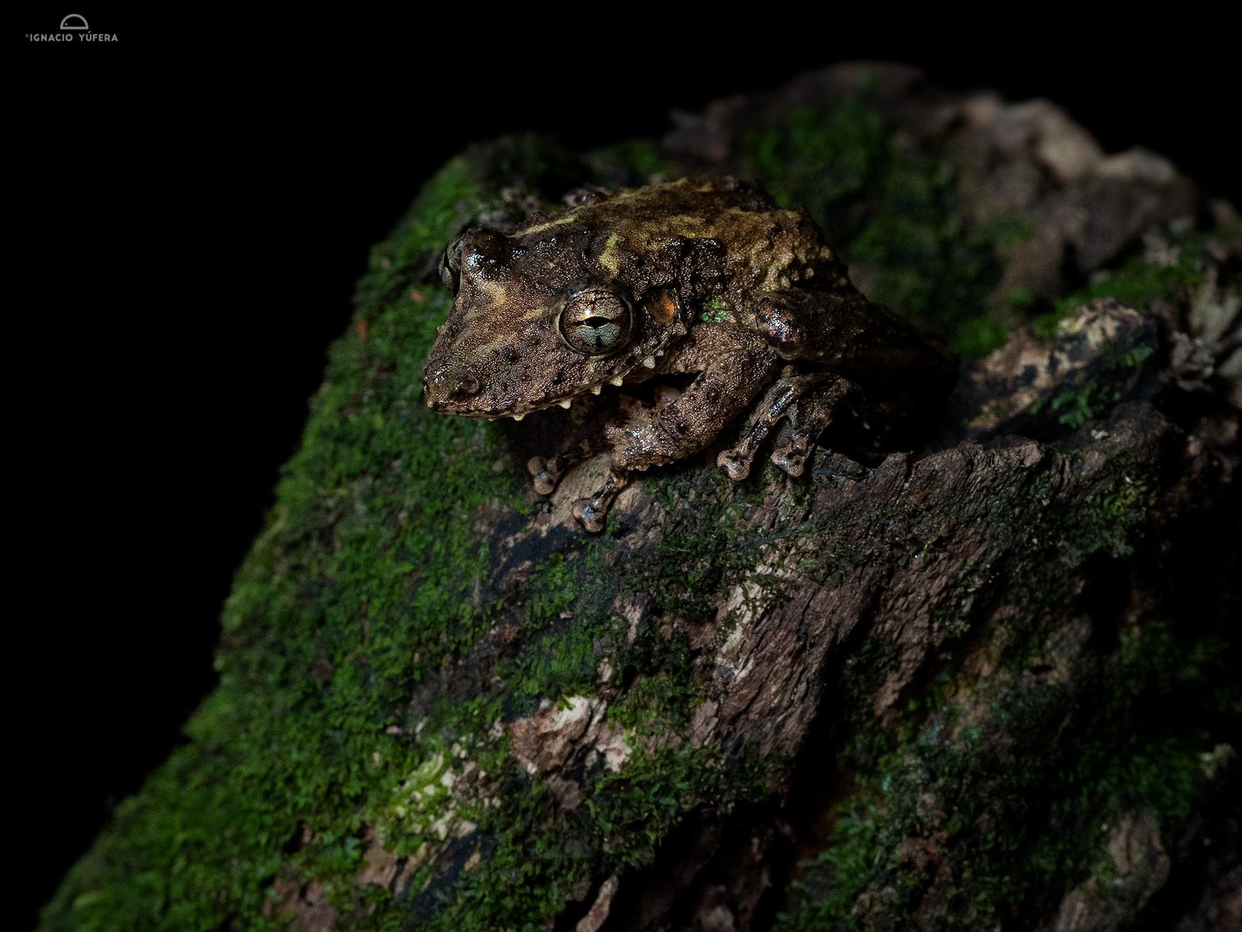 Boulenger's Long-snouted Frog (Scinax boulengeri), Costa Rica