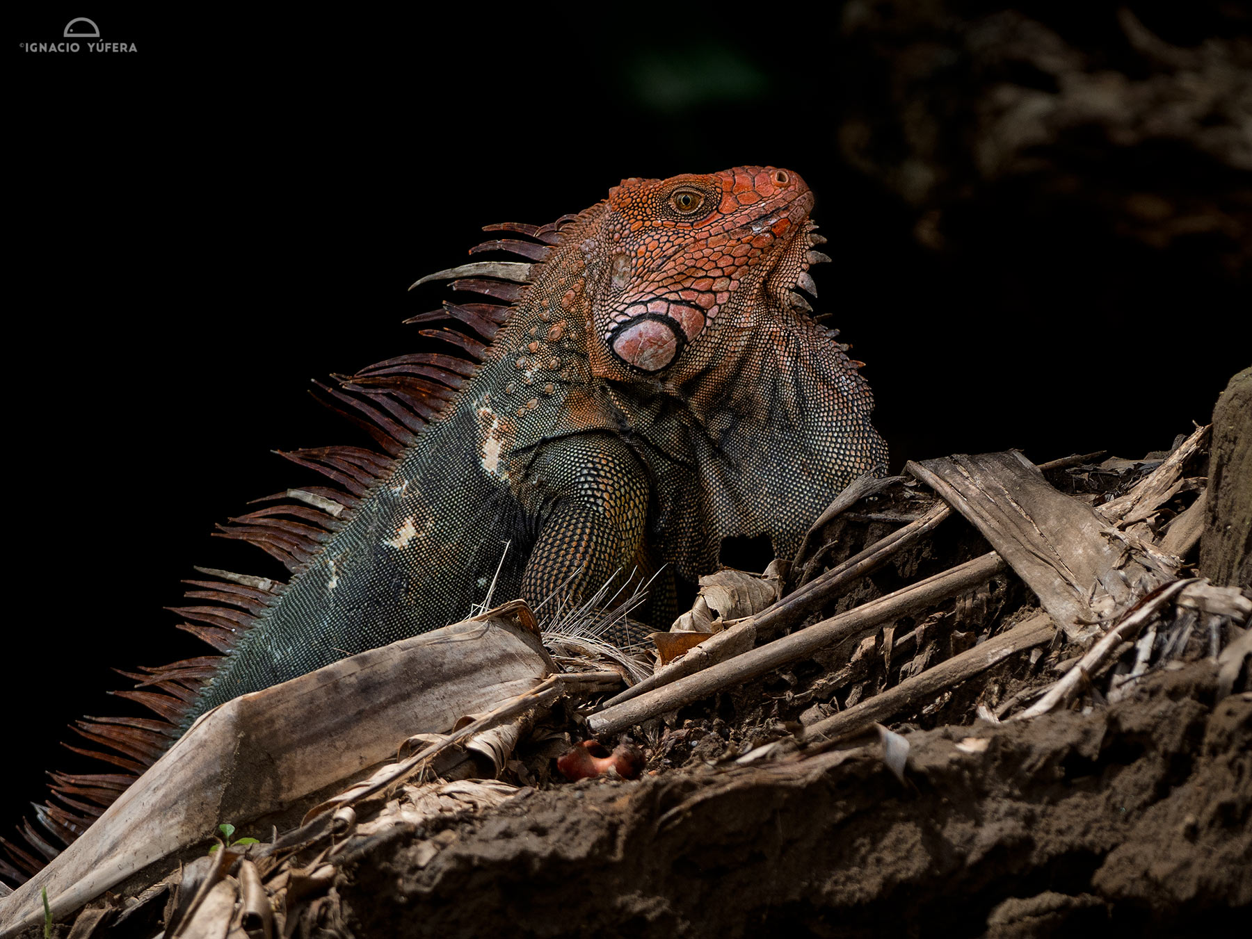 Green Iguana (Iguana iguana), male in  breeding colors, Costa Rica