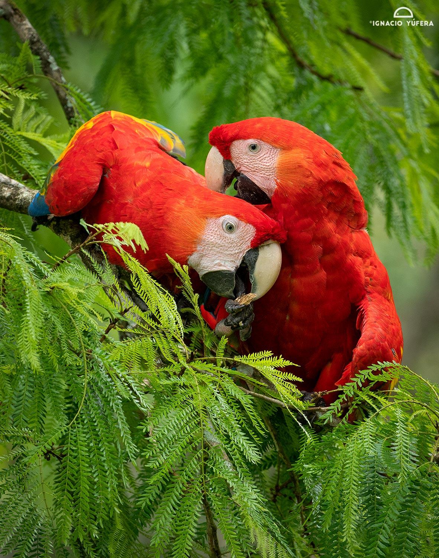 Scarlet Macaws (Ara macao), Costa Rica