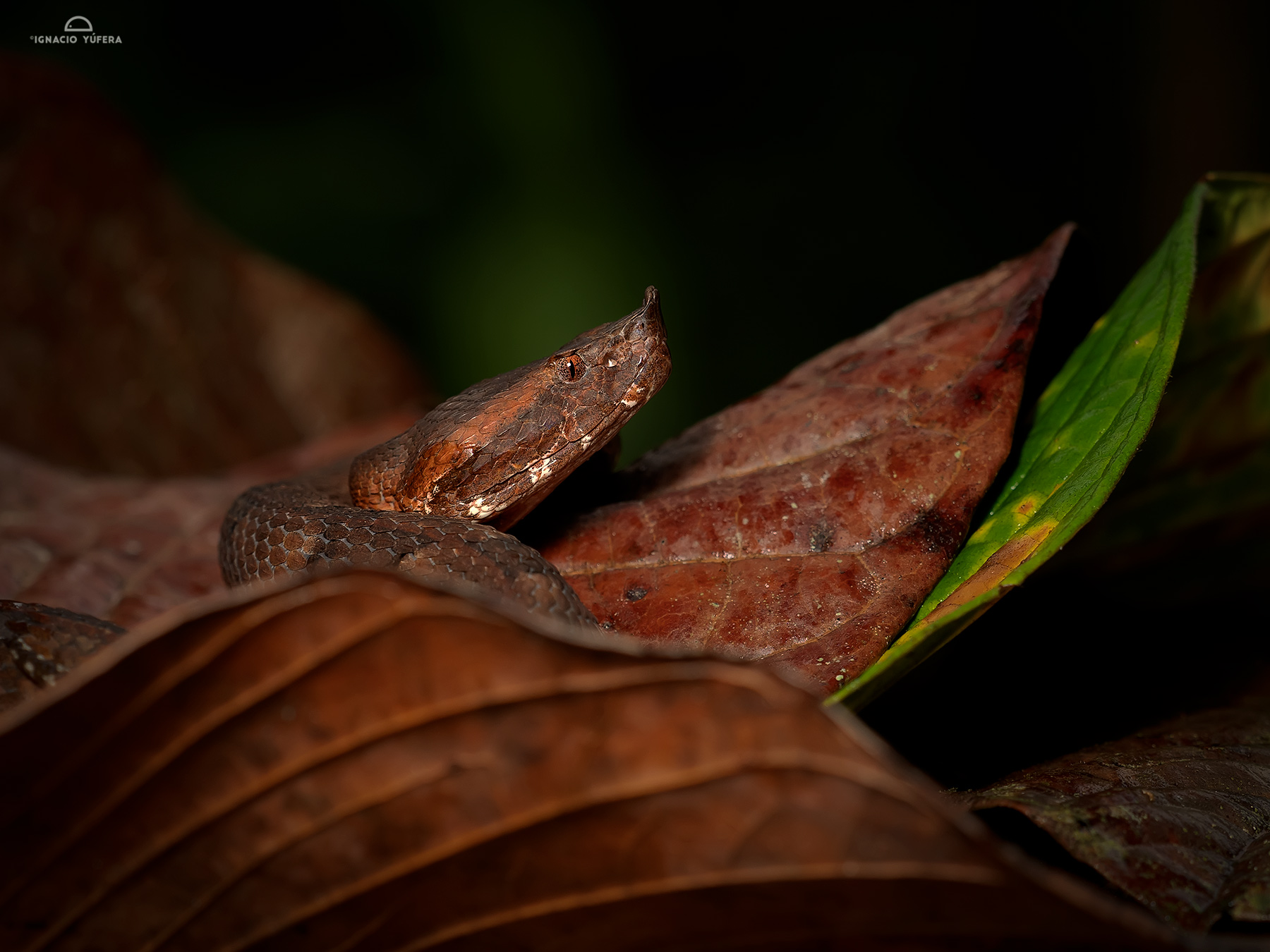 Hognosed Pitviper (Porthidium nasitum), Pital, Costa Rica