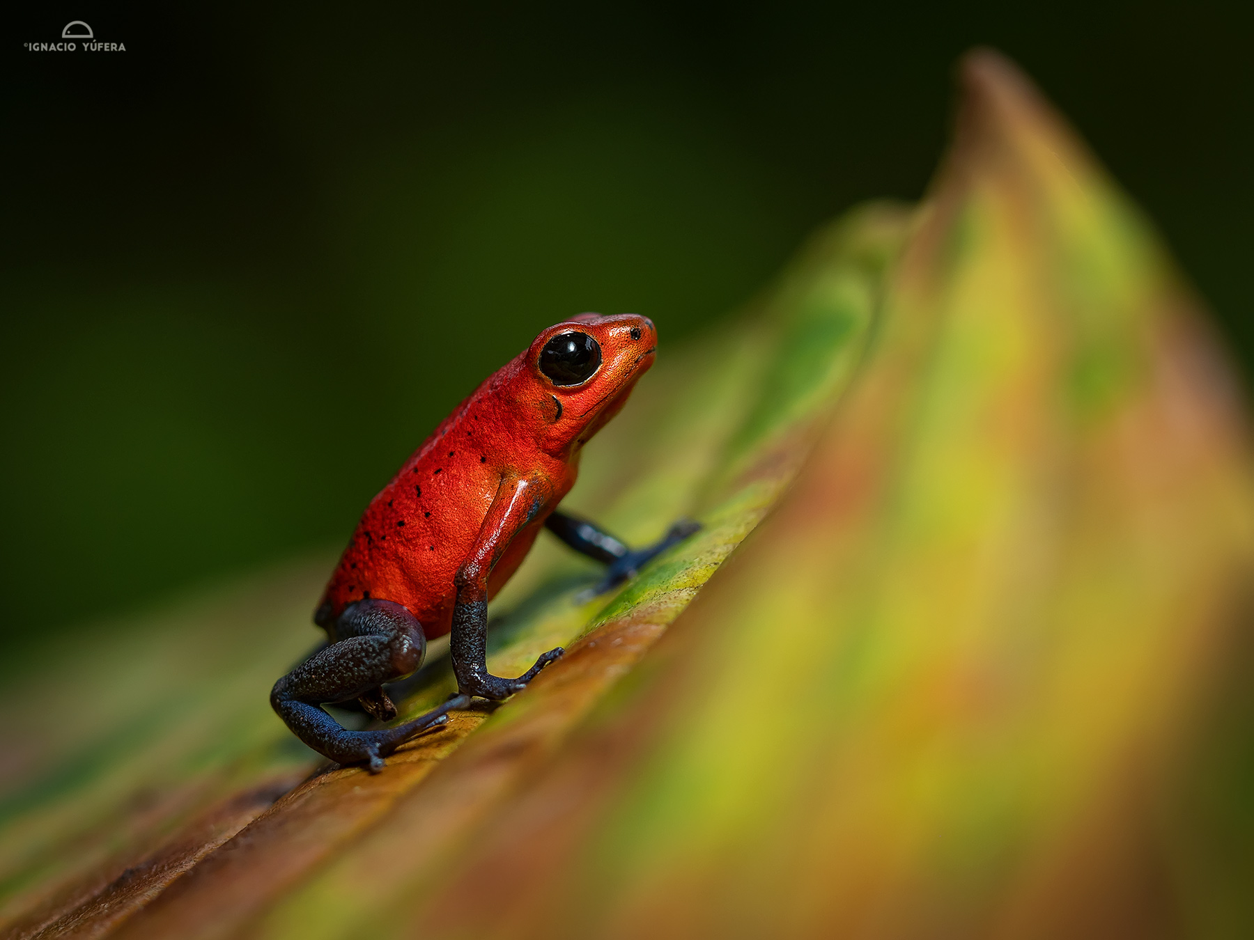 "Strawberry Poison Frog (Oophaga pumilio), ""Blue jeans"" mmorph, Pital, Costa Rica"