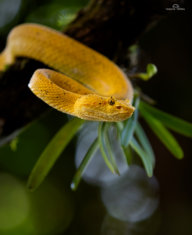 Eyelash Pitviper (Bothriechis schlegeli), yellow morph, Costa Rica