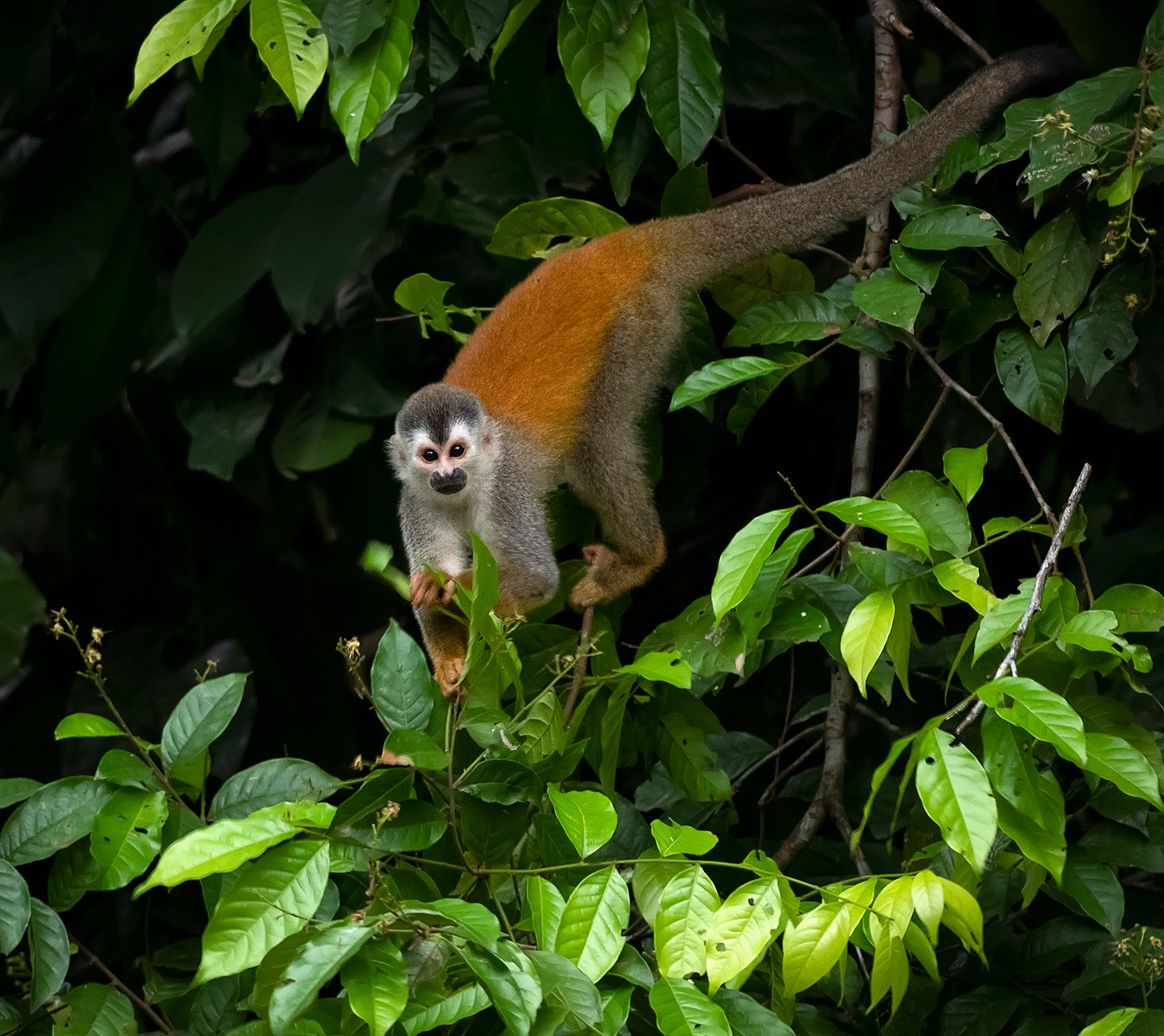Central American Squirrel Monkey (Saimiri oerstedii), Costa Rica
