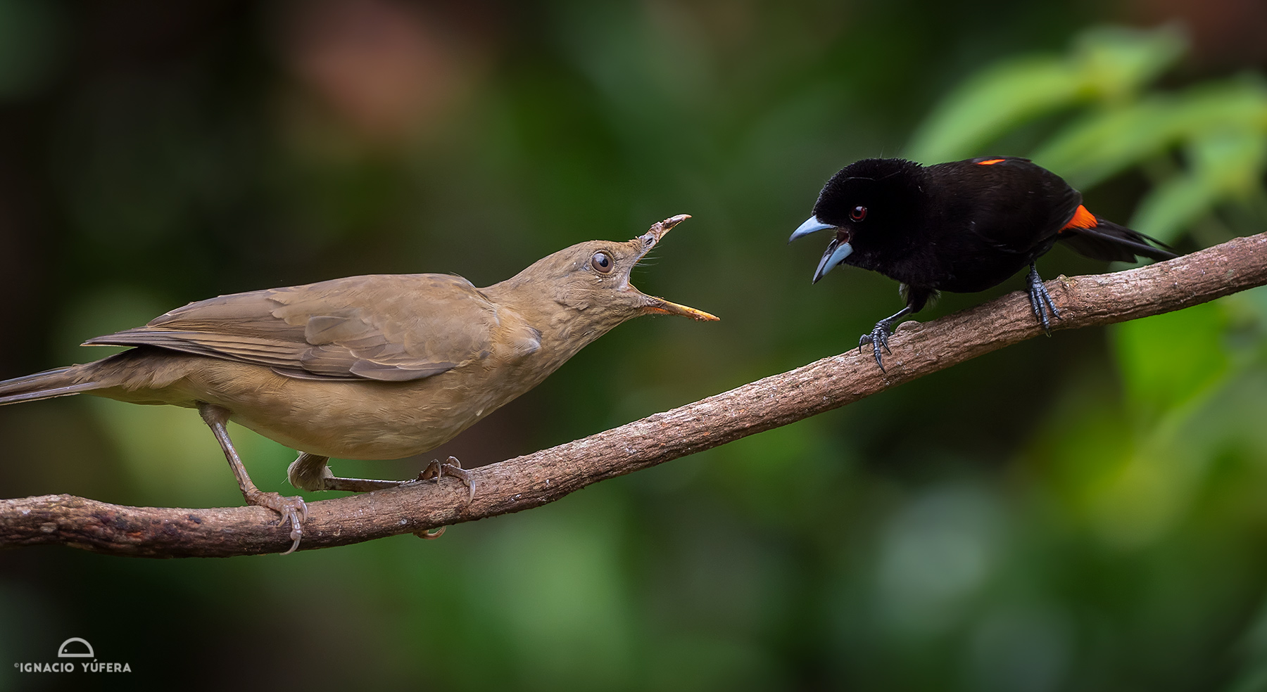 Clay-colored Thrush confronting a Scarlet-rumped Tanager, Costa RicaRamphocelus passerinii