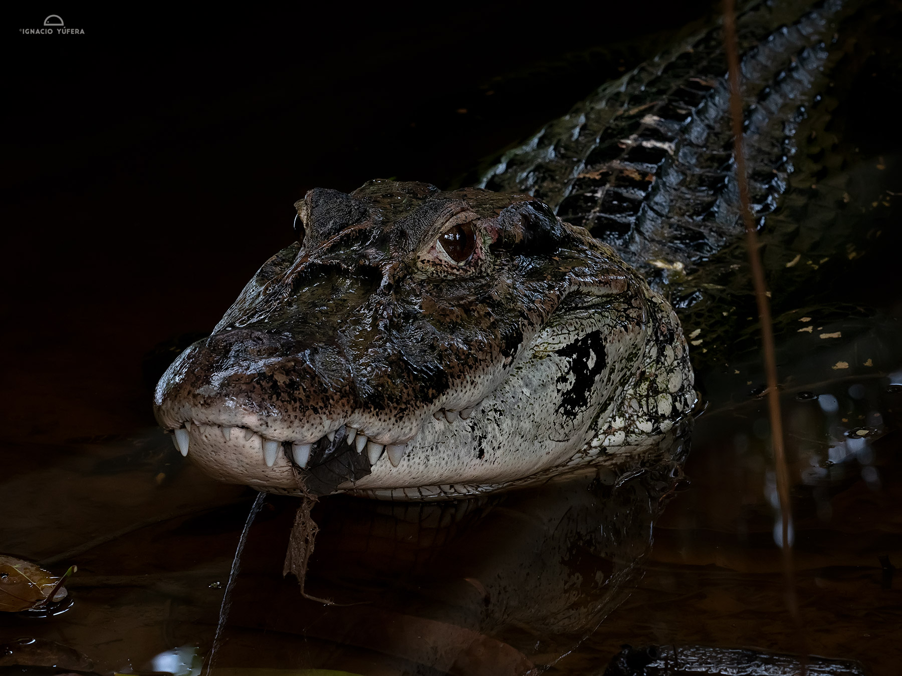 Black Caiman (Melanosuchus niger), Yasuní National Park, Ecuador