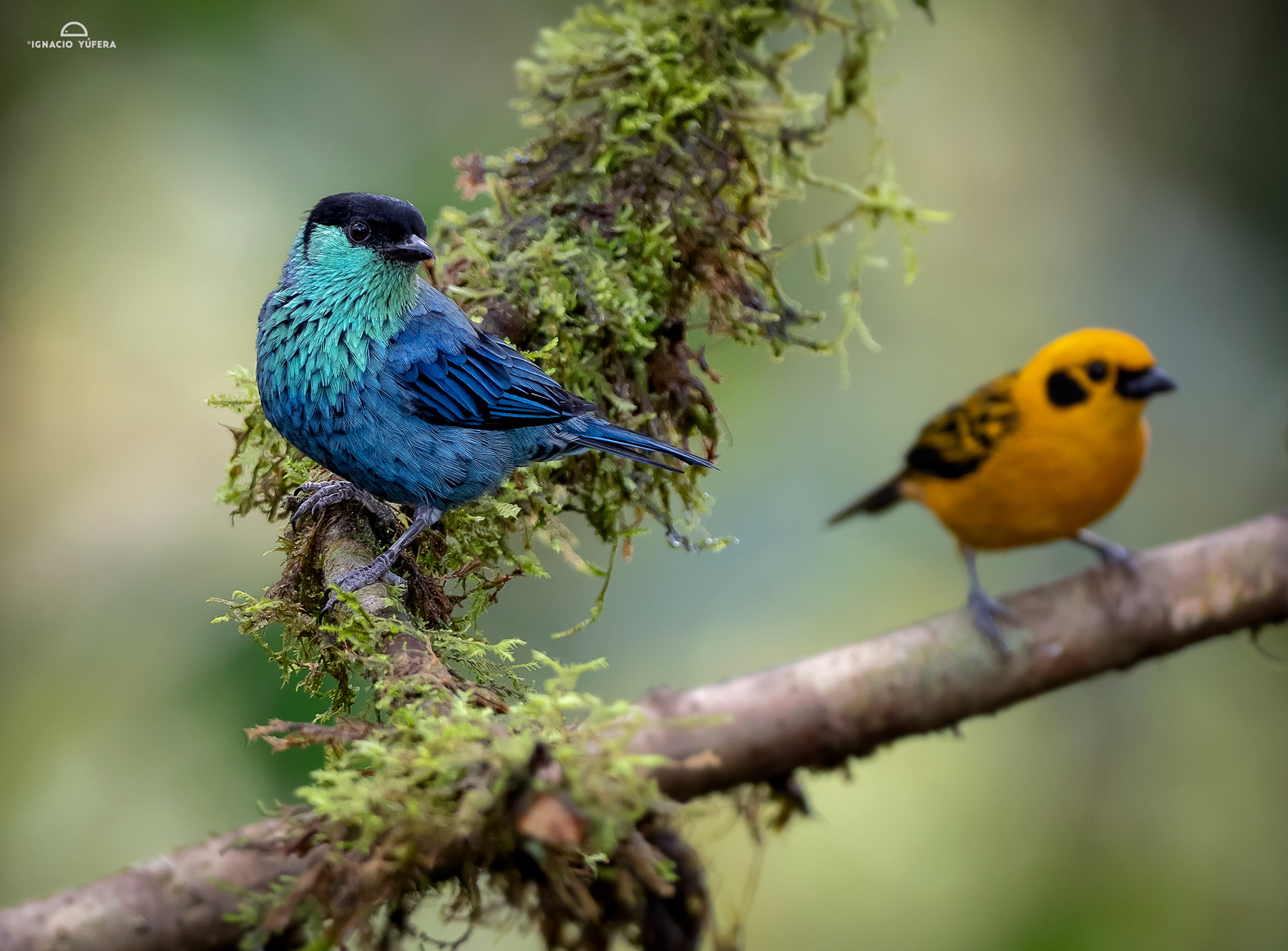 Black-capped Tanager (Tangara heinei) and Golden Tanager, Tandayapa, Ecuador