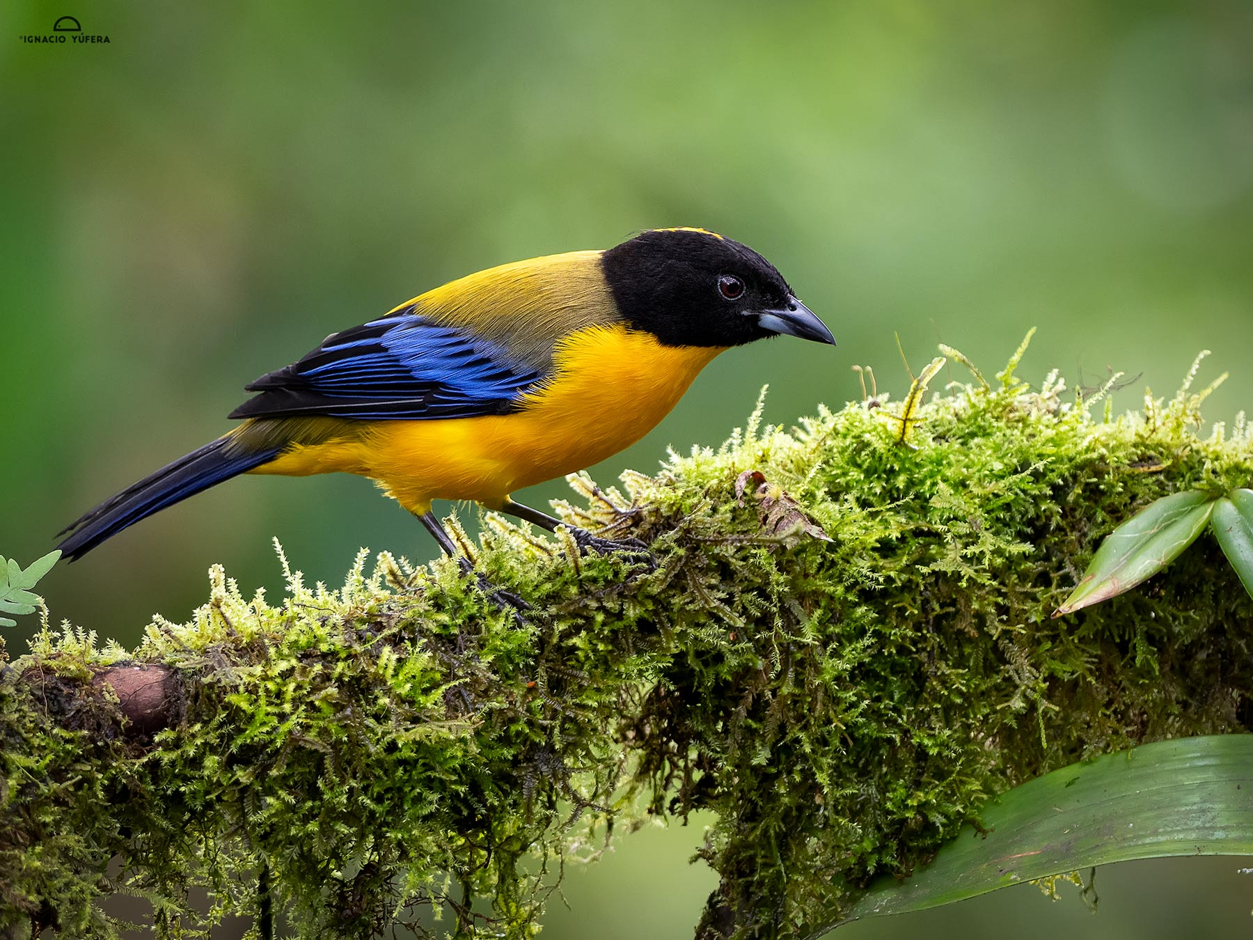 Black-chinned Mountain-tanager (Anisognathus notabilis), Tandayapa, Ecuador