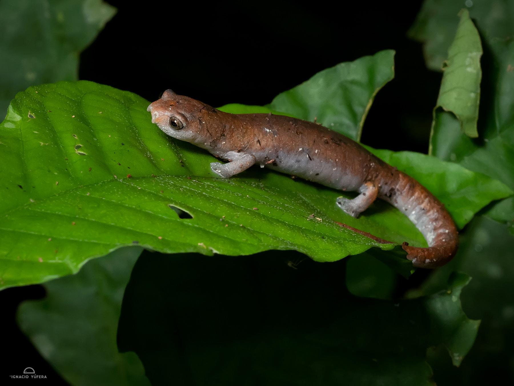 Salamander (Bolitoglossa sp), Yasuní, Ecuador