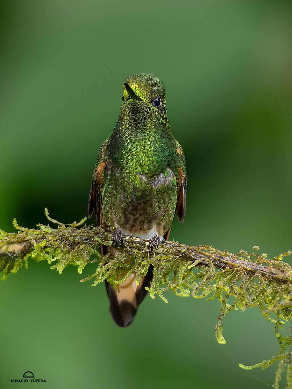 Buff-tailed Coronet (Boissonneaua flavescens), Papallacta, Ecuador