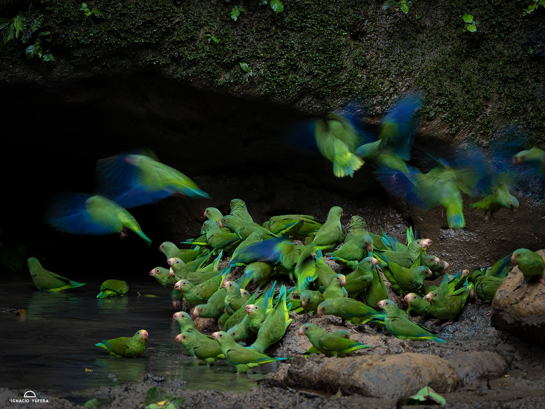Cobalt-winged parakeet (Brotogeris cyanoptera), gathered at mineral dpring, Yasuni National Park, Ecuador