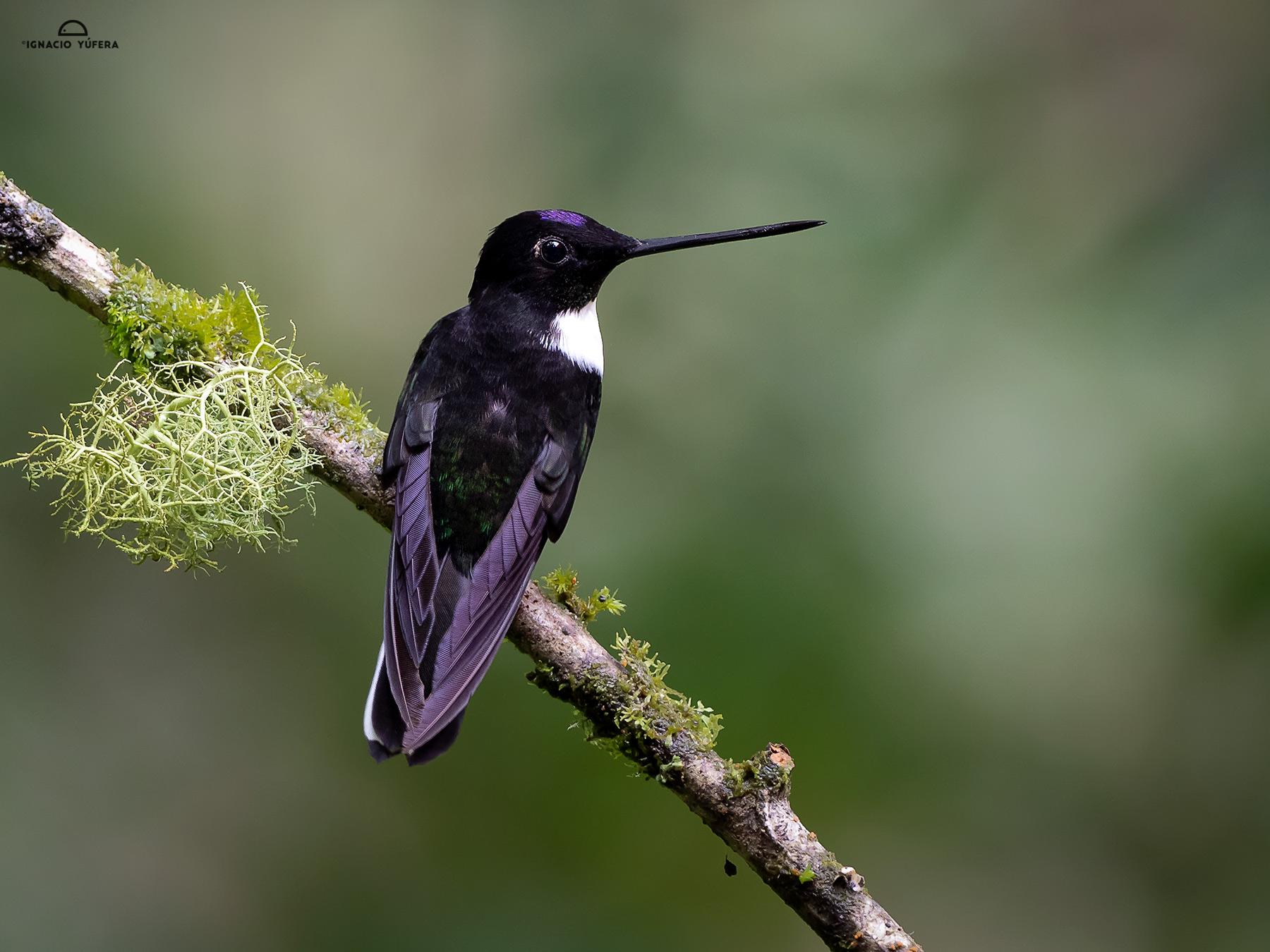 Collared Inca (Coeligena torquata), male, Papallacta, Ecuador