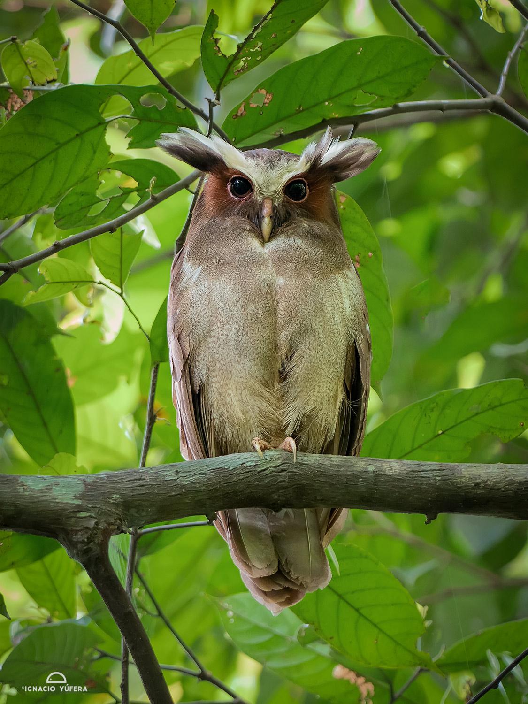 Crested Owl (Lophostrix cristata), Yasuní, Ecuador