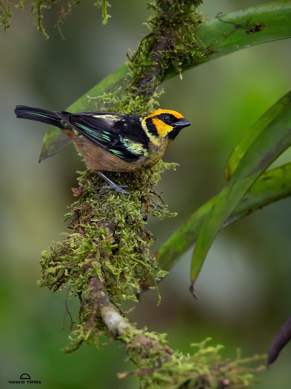 Flame-faced Tanager (Tangara parzudakii), Tandayapa, Ecuador