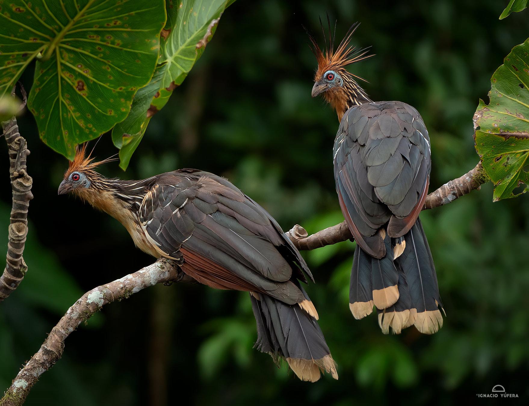 Hoatzin (Ophisthocomus hoazin), Yasuní National Park, Ecuador