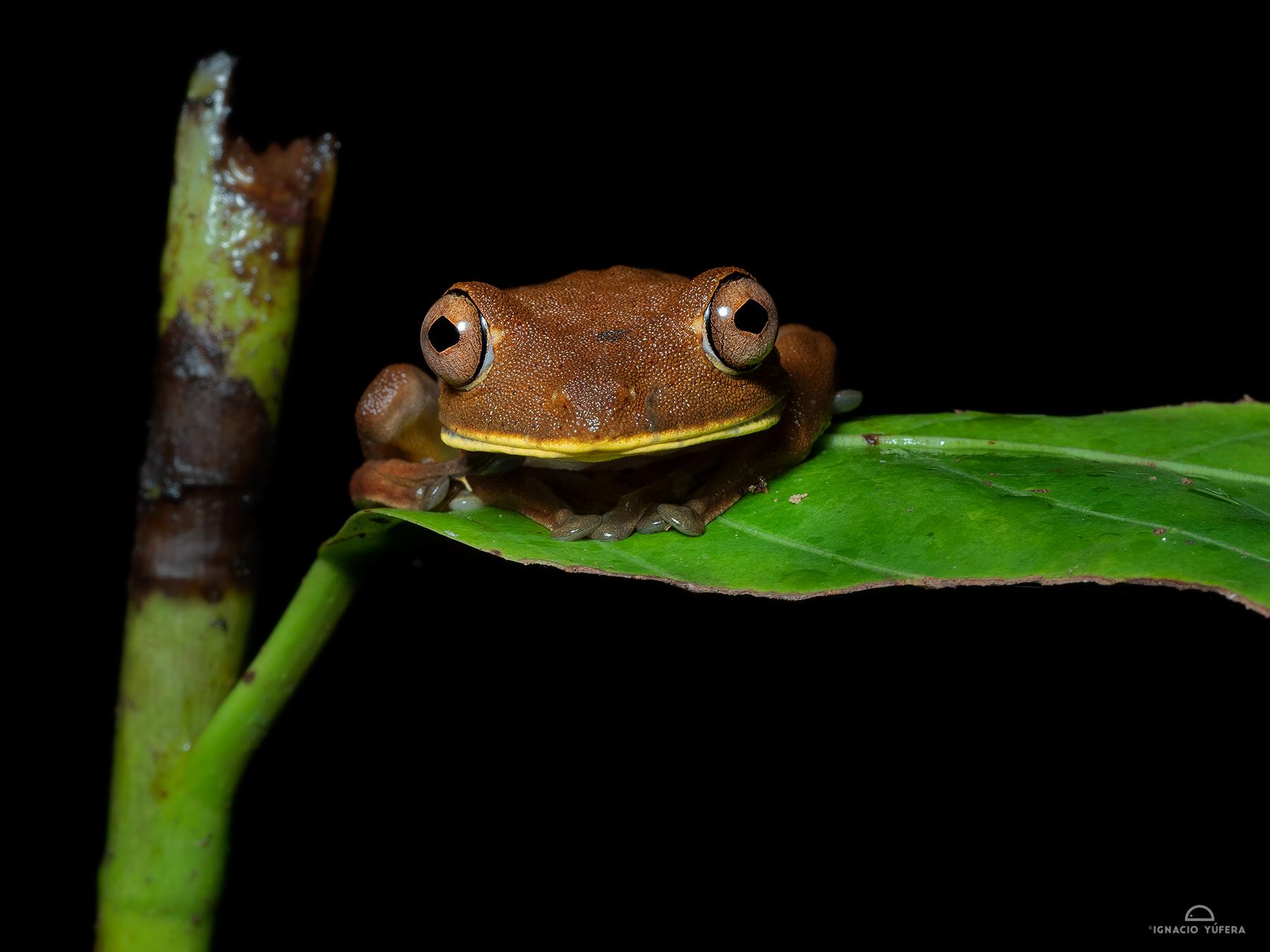 Rusty Tree Frog(Hypsiboans boas), Yasuní, Ecuador