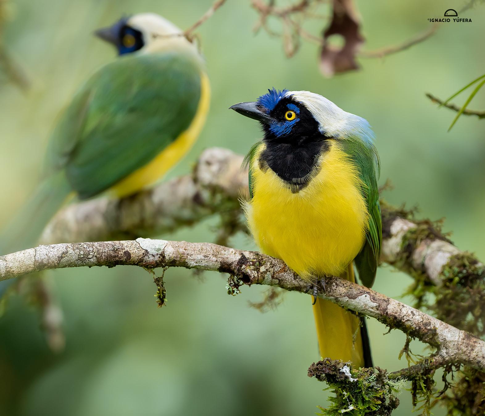 Inca Jay (Cyanocorax yncas), Cosanga, Ecuador