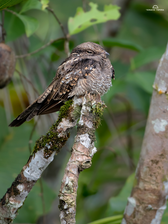 Ladder-tailed Nightjar (Hydropsalis climacocerca), Yasuní National Park, Ecuador
