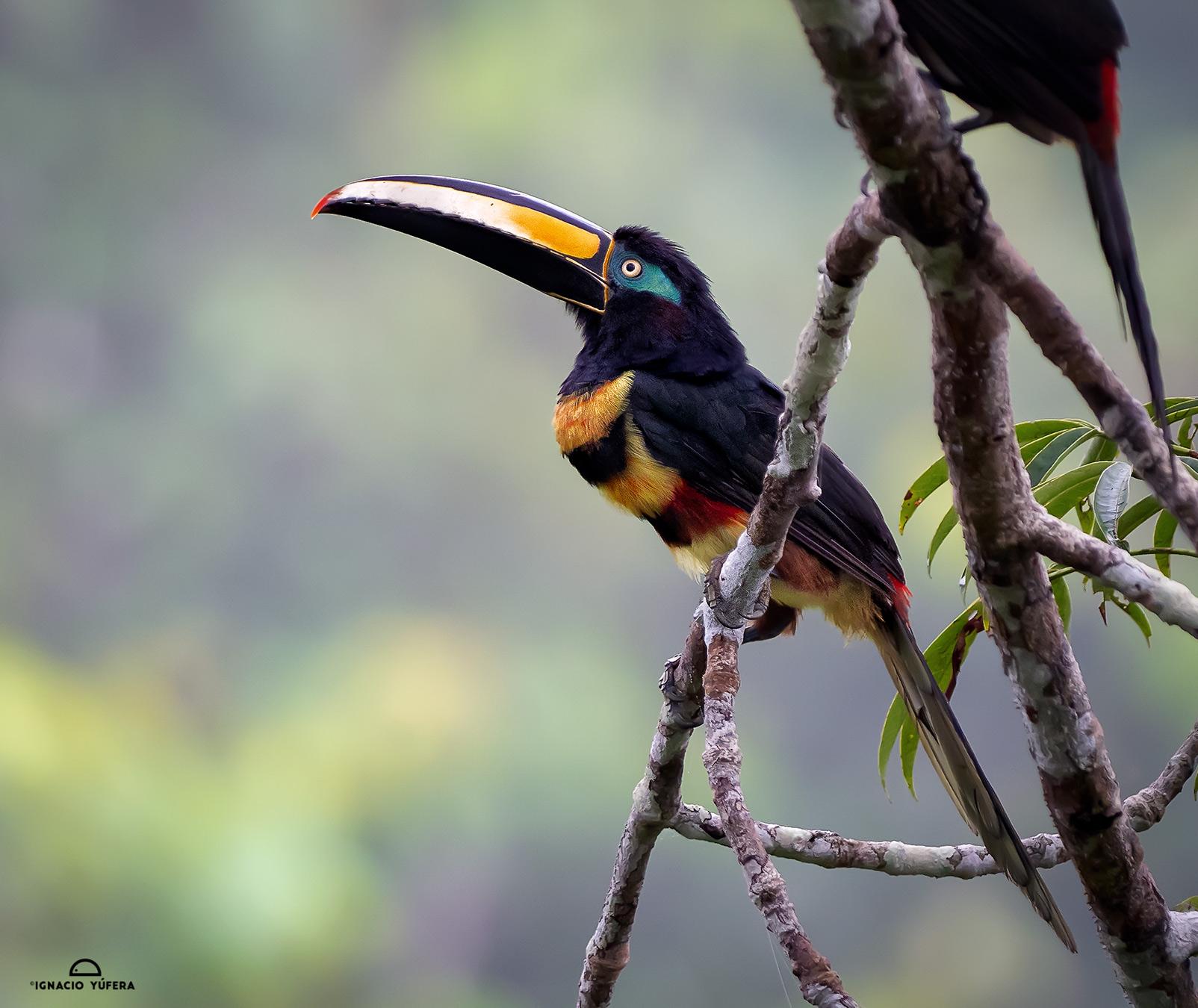 Many-banded Aracari (Pteroglossus pluricinctus), Yasuní, Ecuador