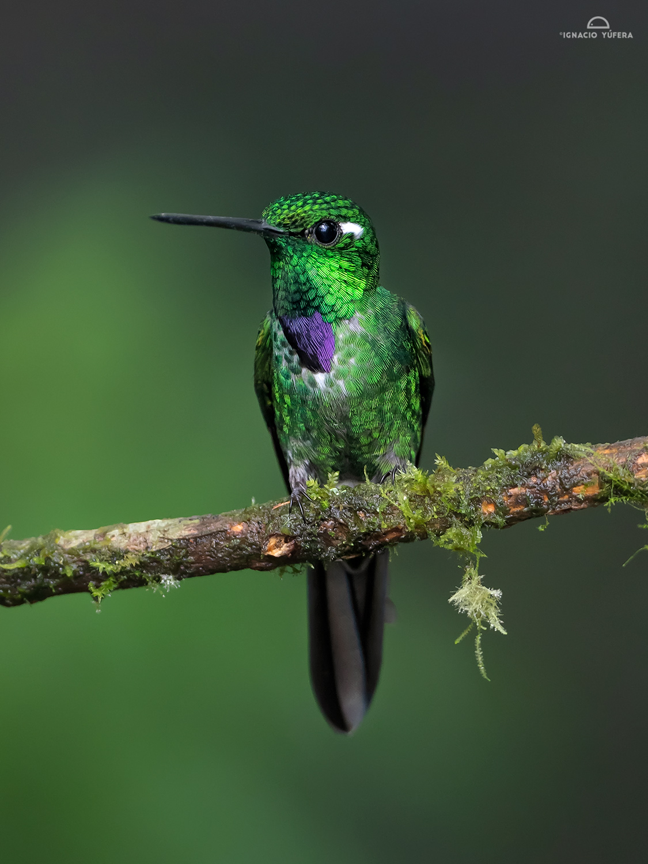 Purple-bibbed Whitetip (Urosticte benjamini), Tandayapa, Ecuador