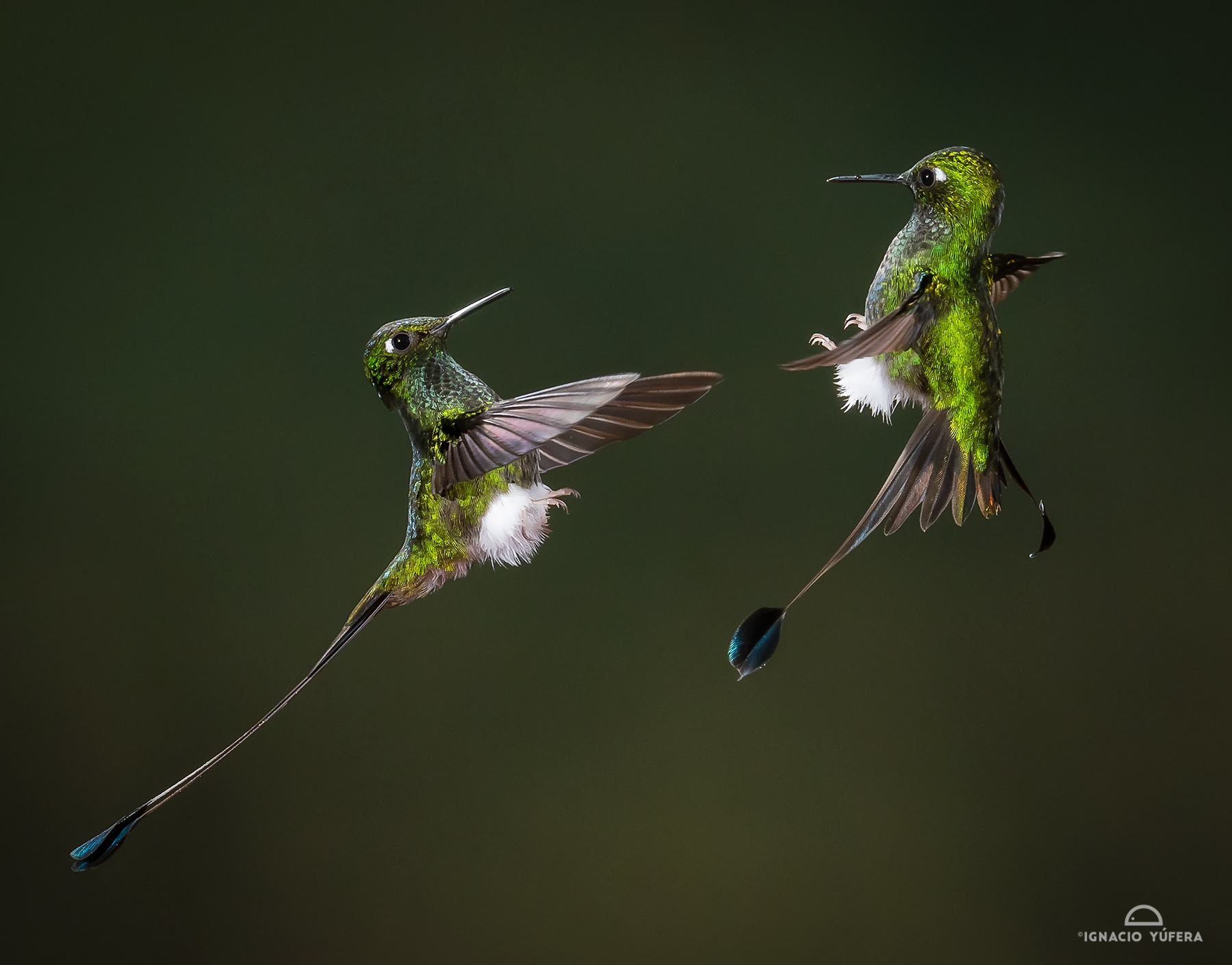 Booted Racket-tail (Ocreatus underwoodii), males in aerial display, Tandayapa, Ecuador