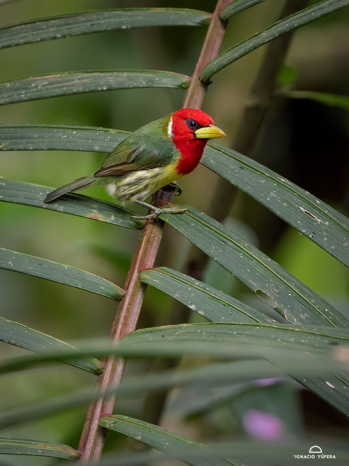 Red-headed Barbet (Eubucco bourcierii), Tandayapa, Ecuador