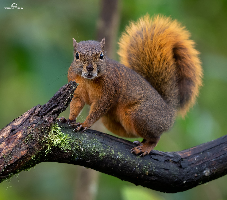 Red-tailed squirrel (Notosciurus granatensis), Tandayapa, Ecuador