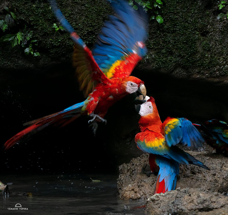Scarlet Macaws (Ara macao) gathering at a mineral water spring, Yasuní National Park, Ecuador