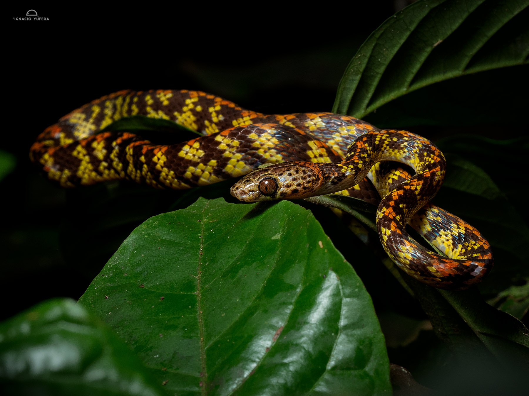 Checkerbelly snake (Siphlophis cervinus), Yasuní National Park, Ecuador