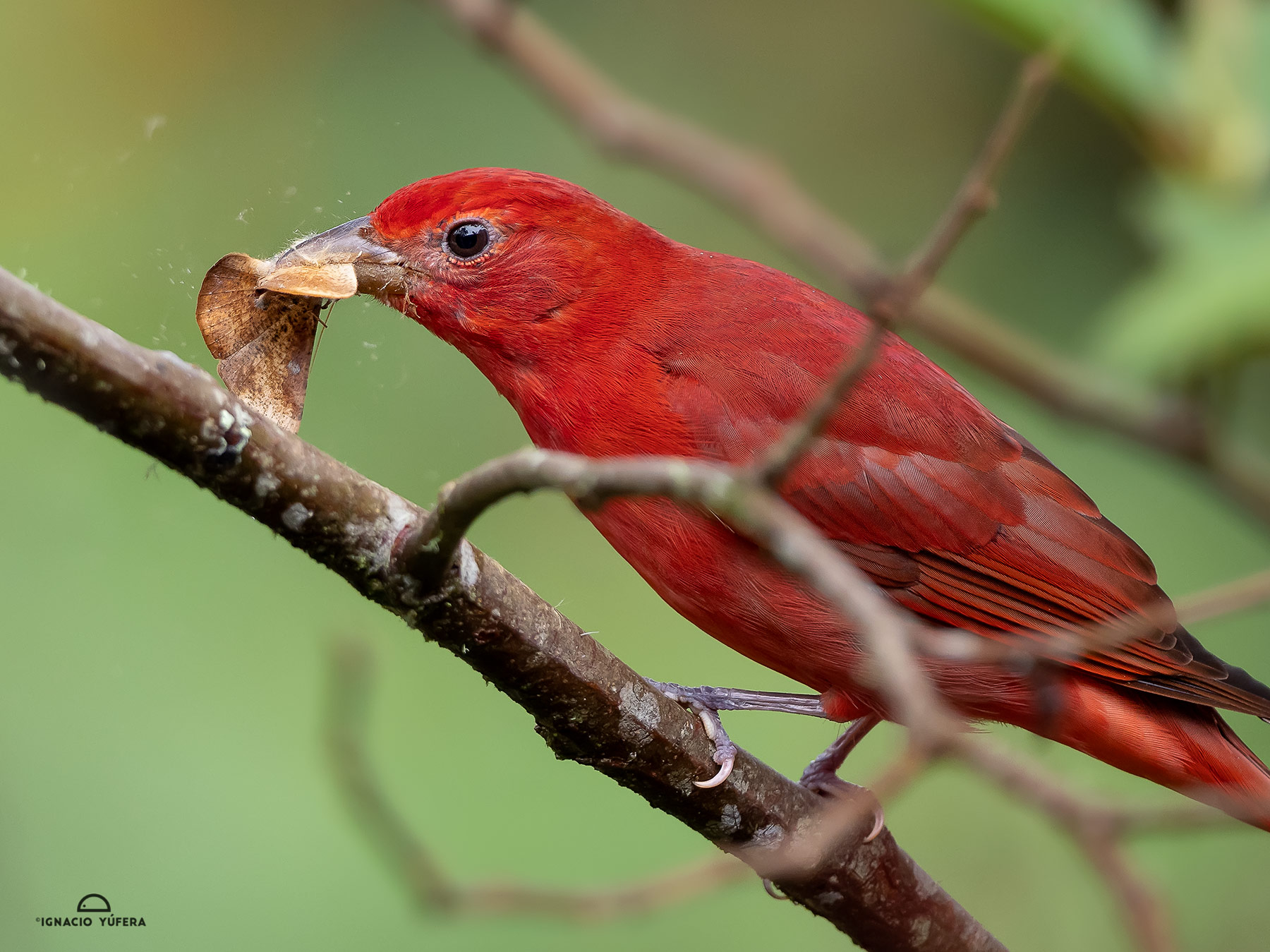 Summer Tanager (Piranga rubra), adult male feeding on moth, Cusanga, Ecuador