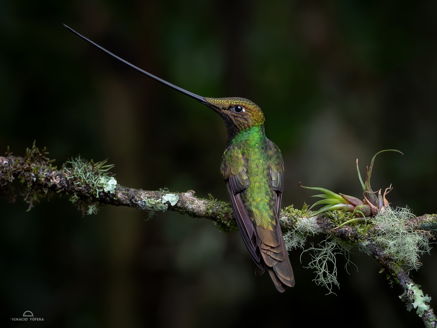Sword-billed Hummingbird (Ensifera ensifera), male, Papallacta, Ecuador