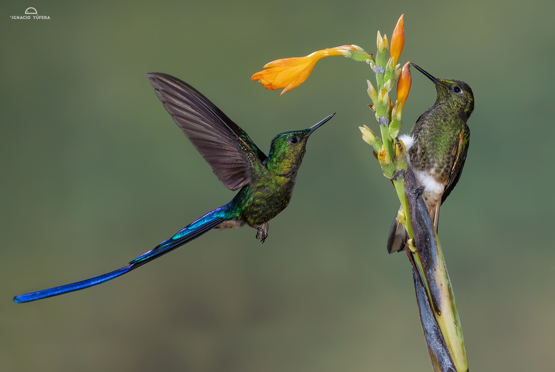 Long-tailed Sylph and Buff-tailed Coronet, Tandayapa, Ecuador