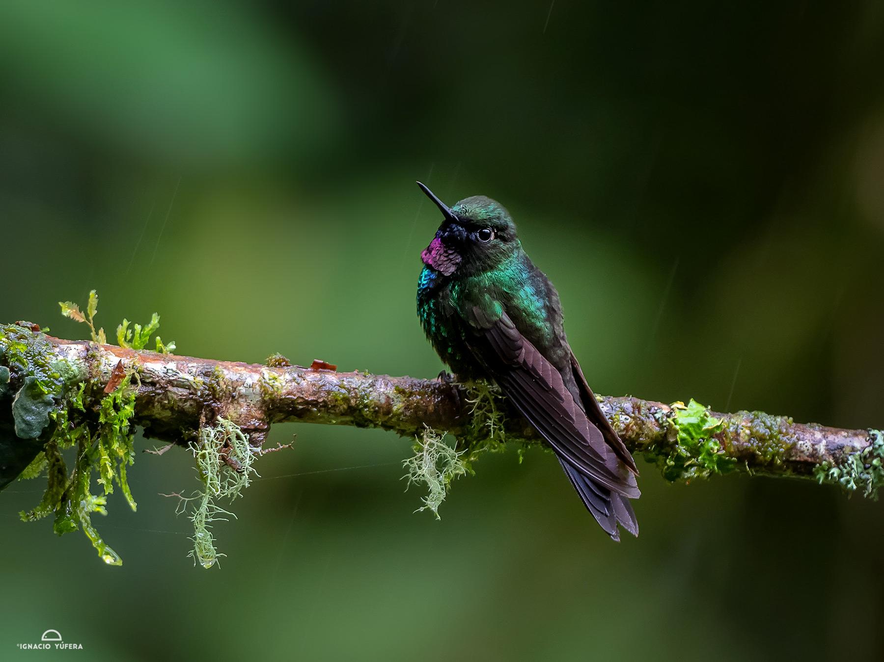 Tourmaline Sunangel (Heliangelus exortis), Papallacta, Ecuador