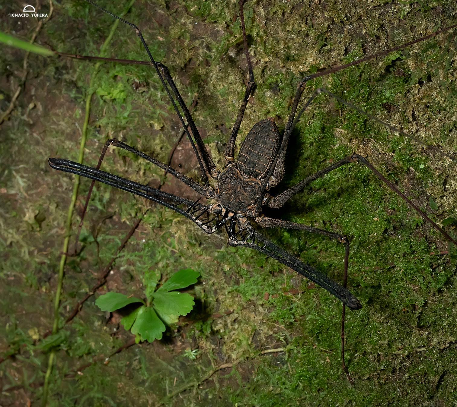 Amblypygid (Tailless Whip Scorpion), Yasuni, Ecuador