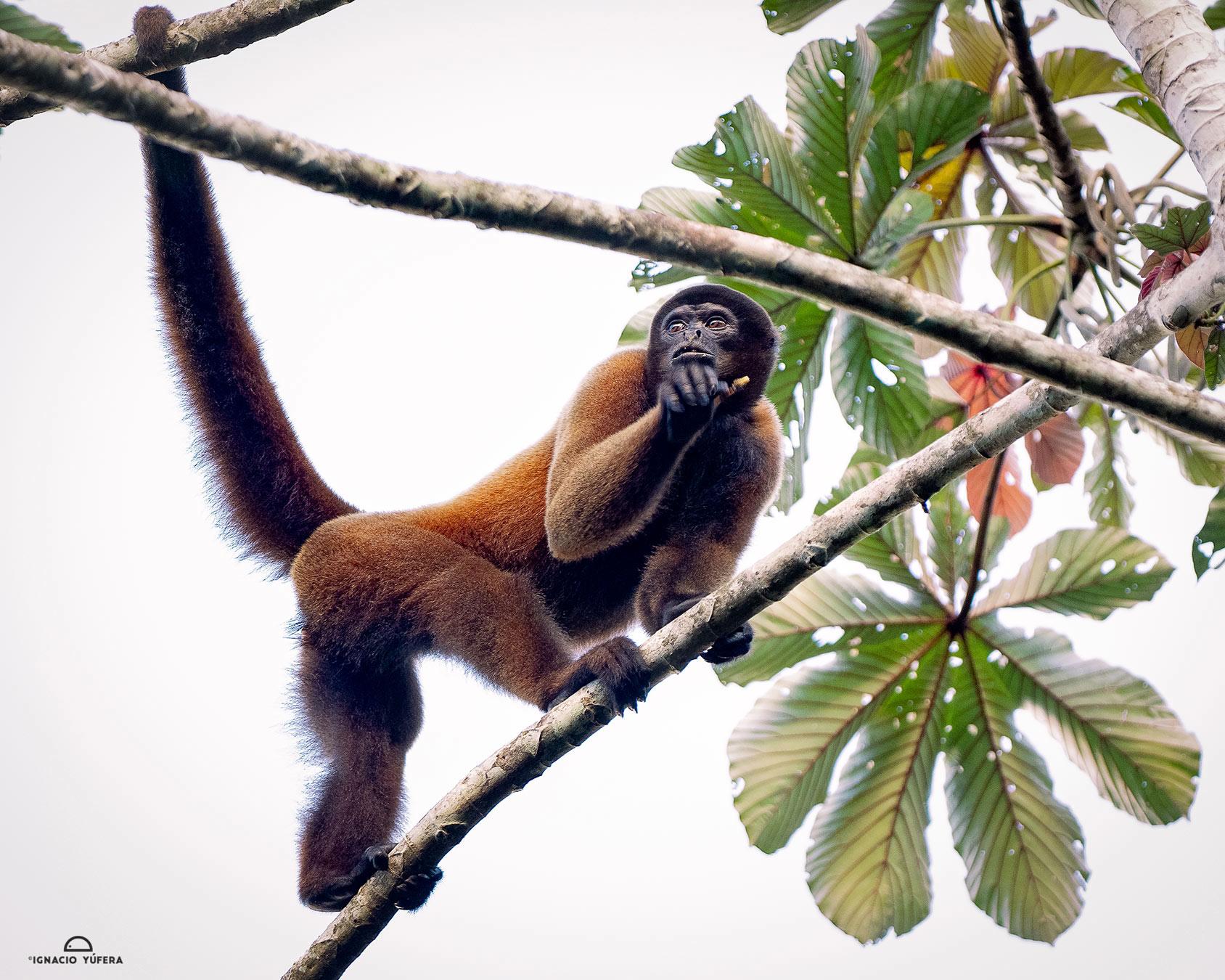 Humboldt's Woolly Monkey (Lagothrix l. lagothricha), Yasuní National Park, Ecuador