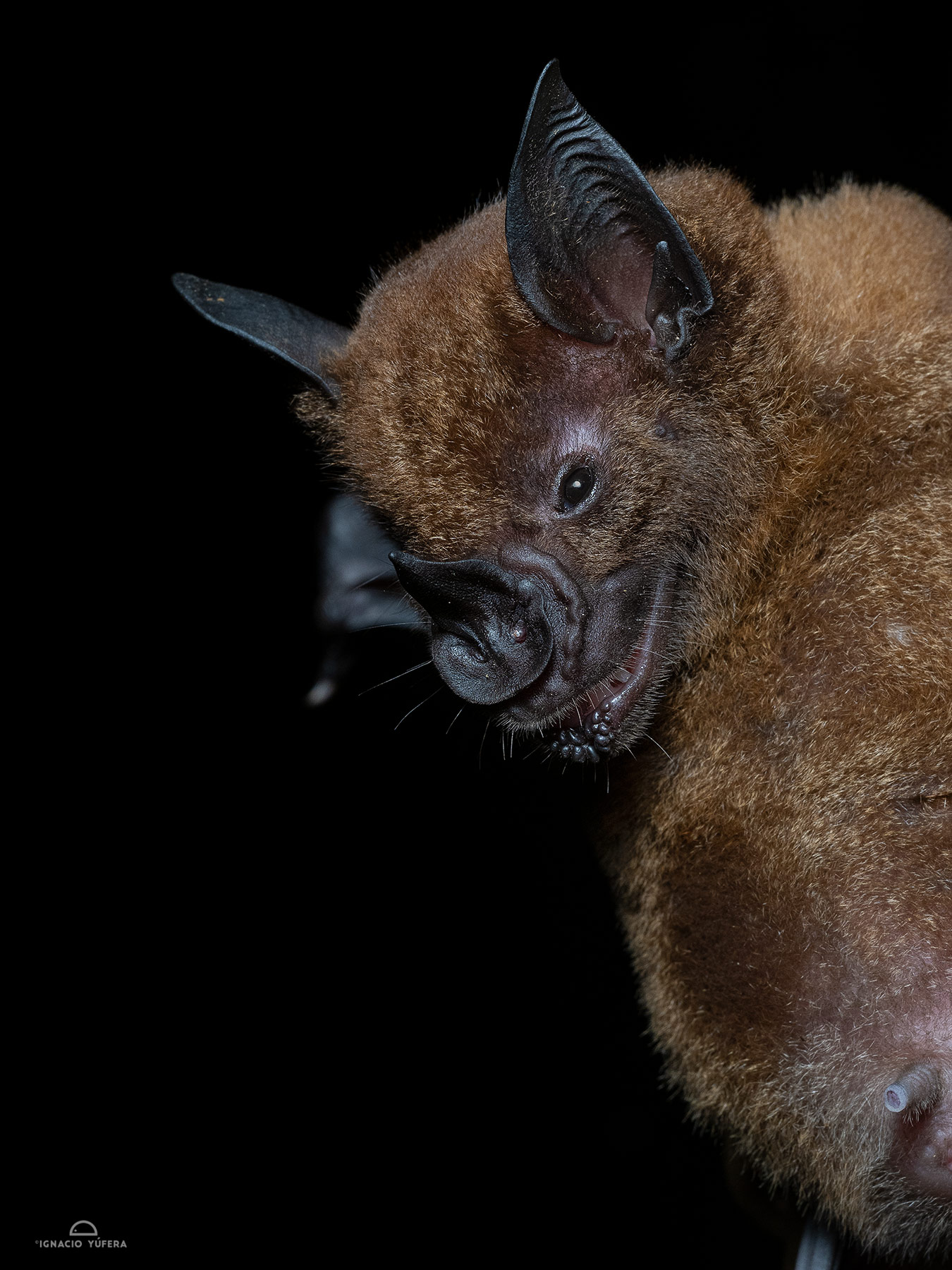 Greater Spear-nosed Bat (Phyllostomus hastatus), madre de Dios, Peru