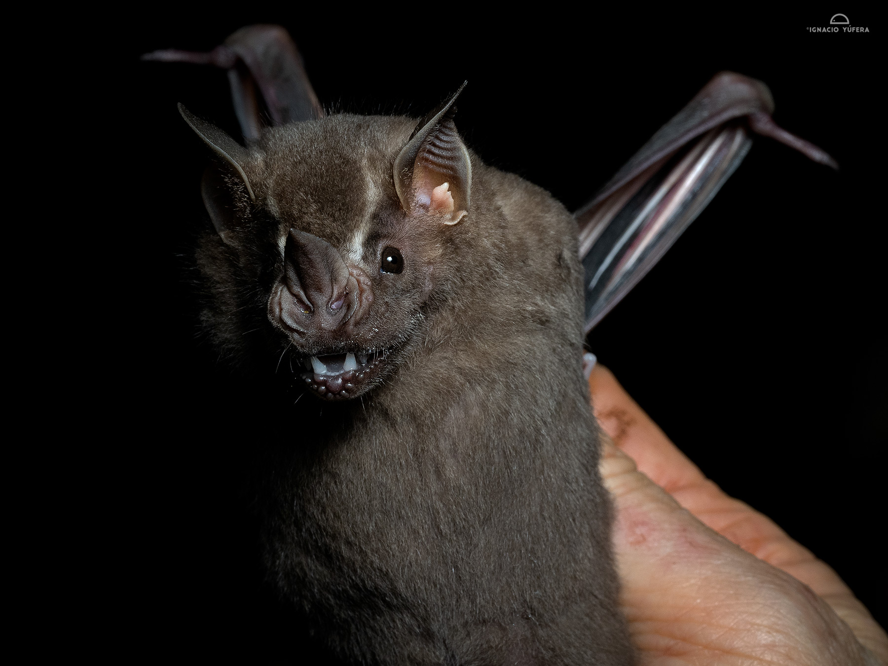 Flat-faced Fruit-eating Bat (Artibeus planirostris), Madre de Dios, Peru