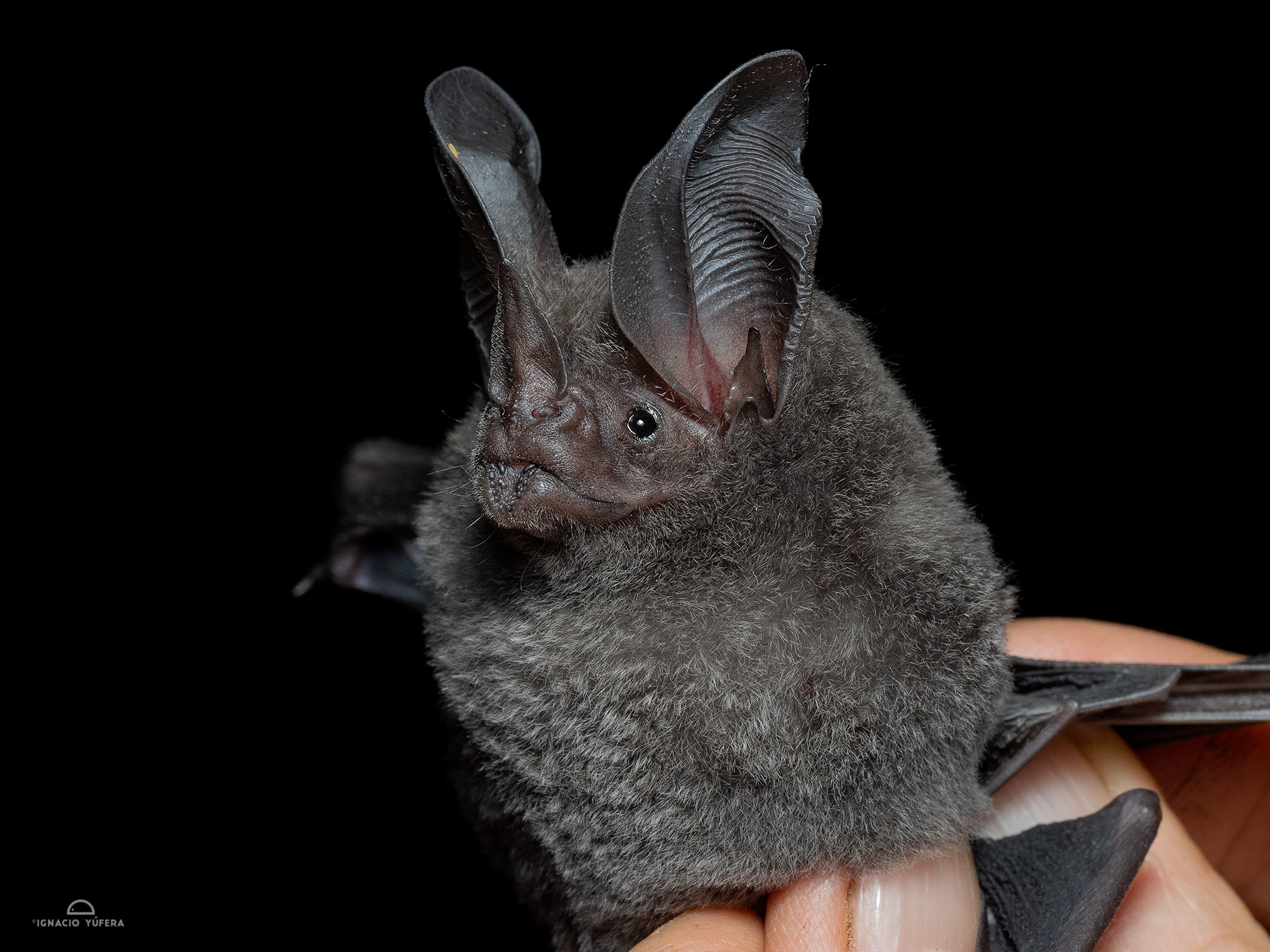 White-throated Round-eared Bat (Lophostoma silvicolum), Madre de Dios, Peru