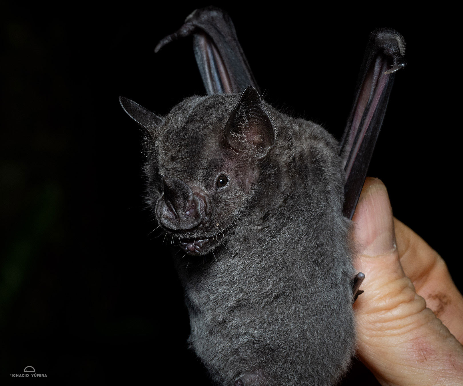 Dark Fruit-eating Bat (Artibeus obscurus), Madre de Dios, Peru