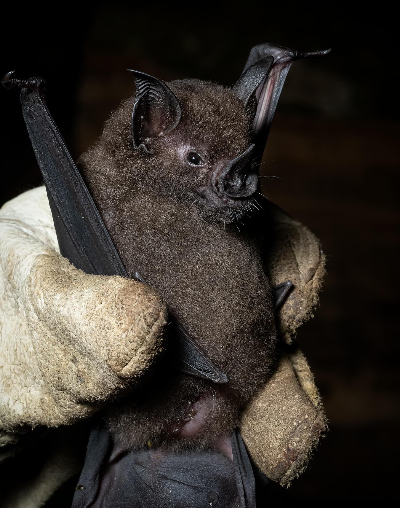 Lesser Spear-nosed Bat (Artibeus obscurus), Madre de Dios, Peru