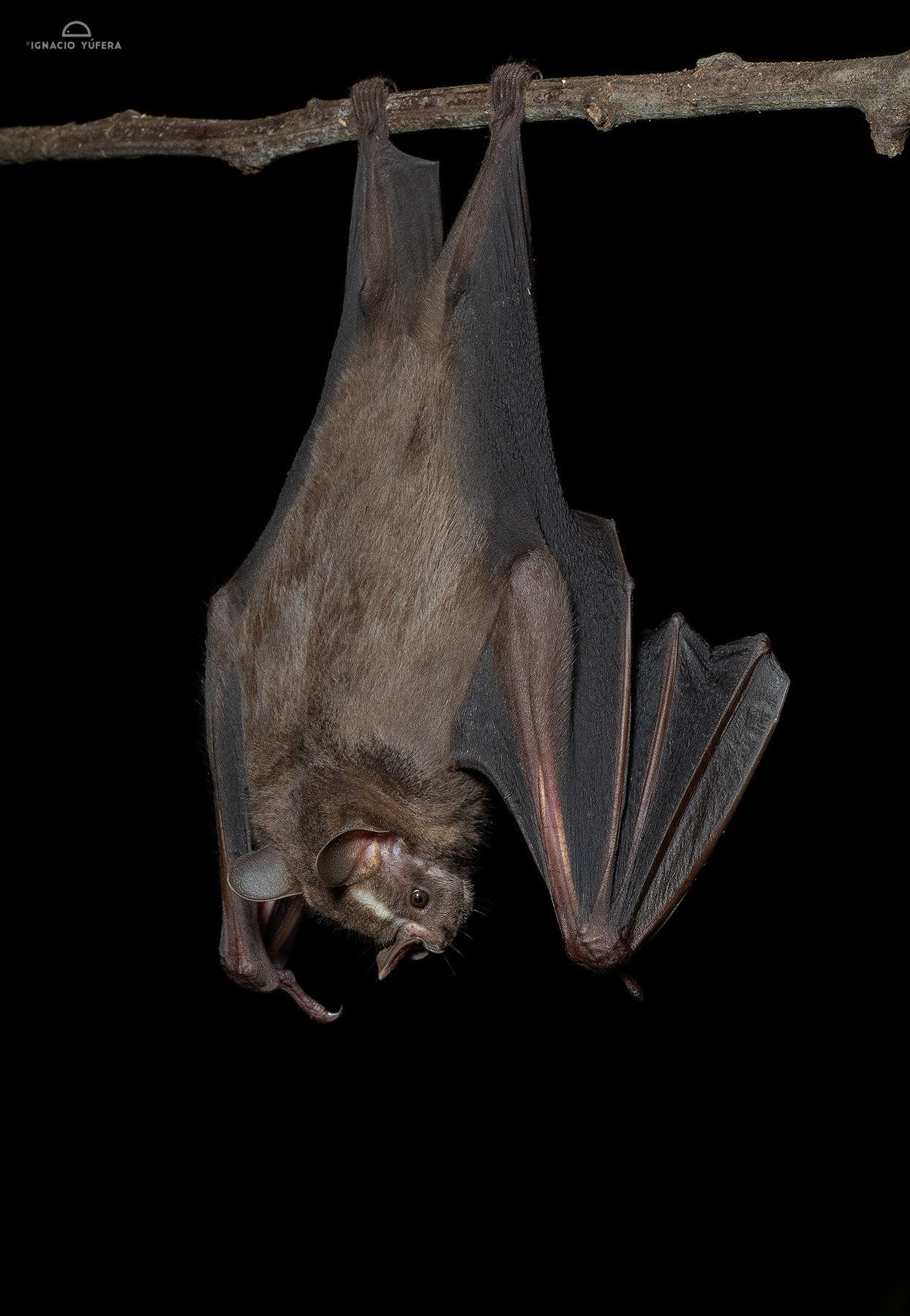 Greater Fruit-eating Bat (Artibeus lituratus), Madre de Dios, Peru