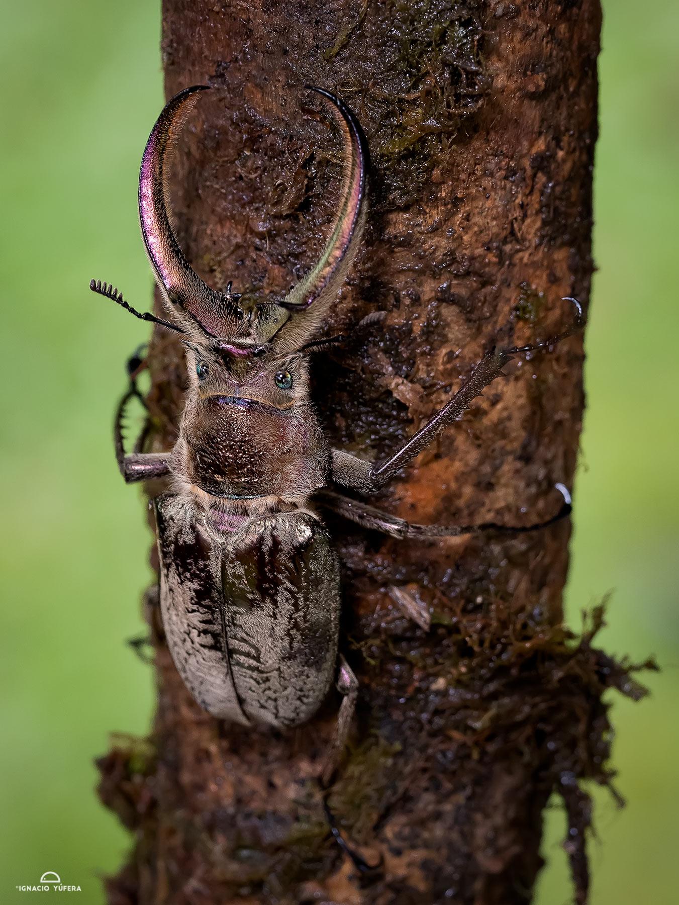 Stag beetle (Sphaenognathus feisthameli), Abra Patricia, Peru
