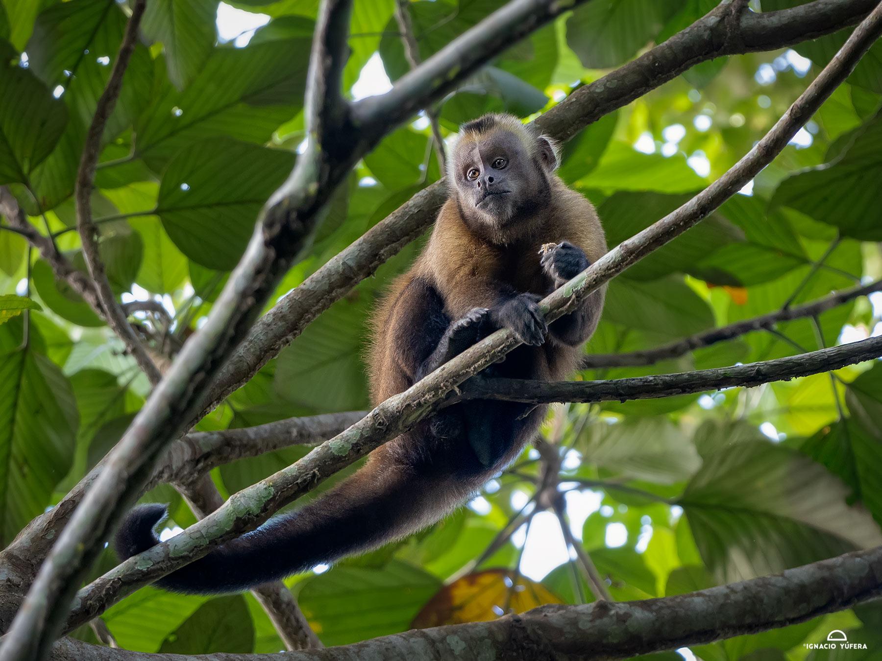 Black-capped Capuchin Monkey (Cebus apella), Madre de Dios, Peru